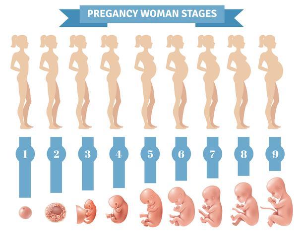 La donna di gravidanza mette in scena l'illustrazione di vettore