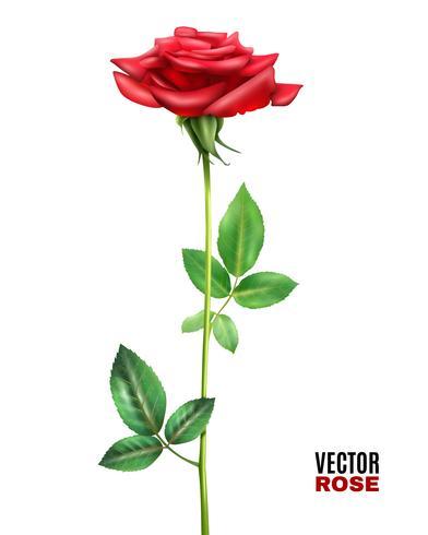 illustrazione di fiore di rosa vettore
