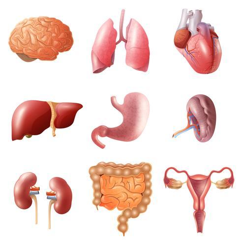 Set di organi umani vettore
