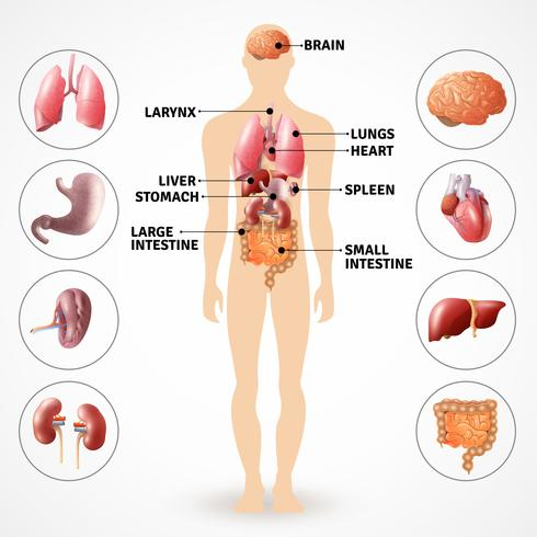 Organi di anatomia umana vettore