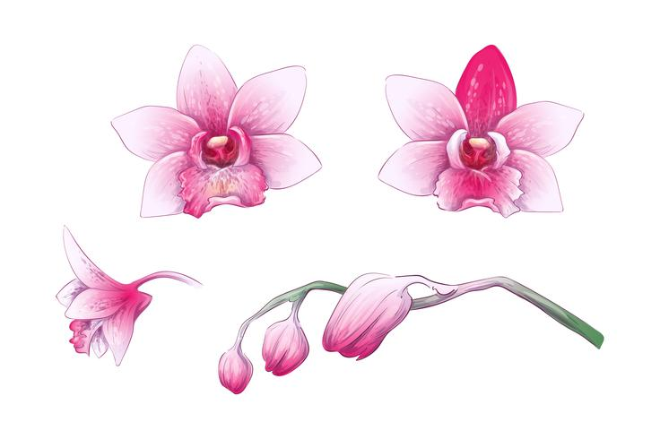 Metta l'orchidea di phalaenopsis, i fiori rosa e rossi su fondo bianco, pianta tropicale di tiraggio digitale vettore