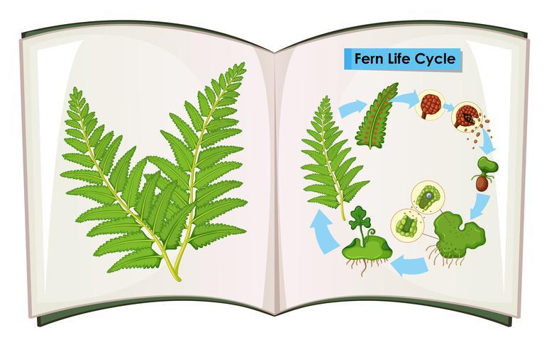 Libro del ciclo di vita di felce vettore