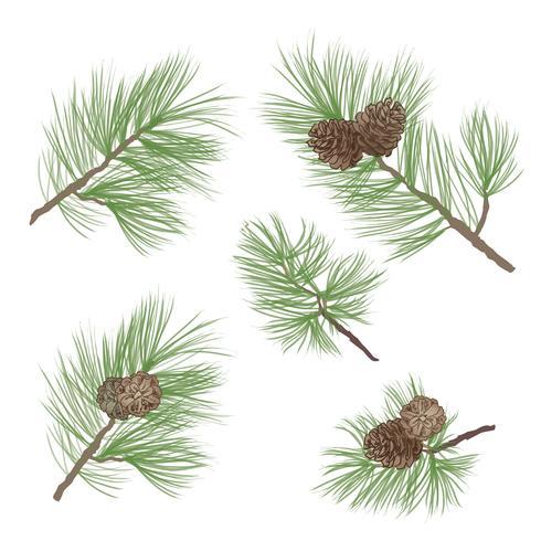 Pigna. Ramo di albero di pino isolato. Decorazioni floreali sempreverdi vettore