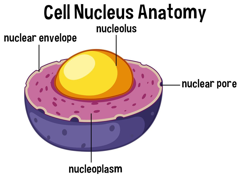 Anatomia del nucleo cellulare animale vettore