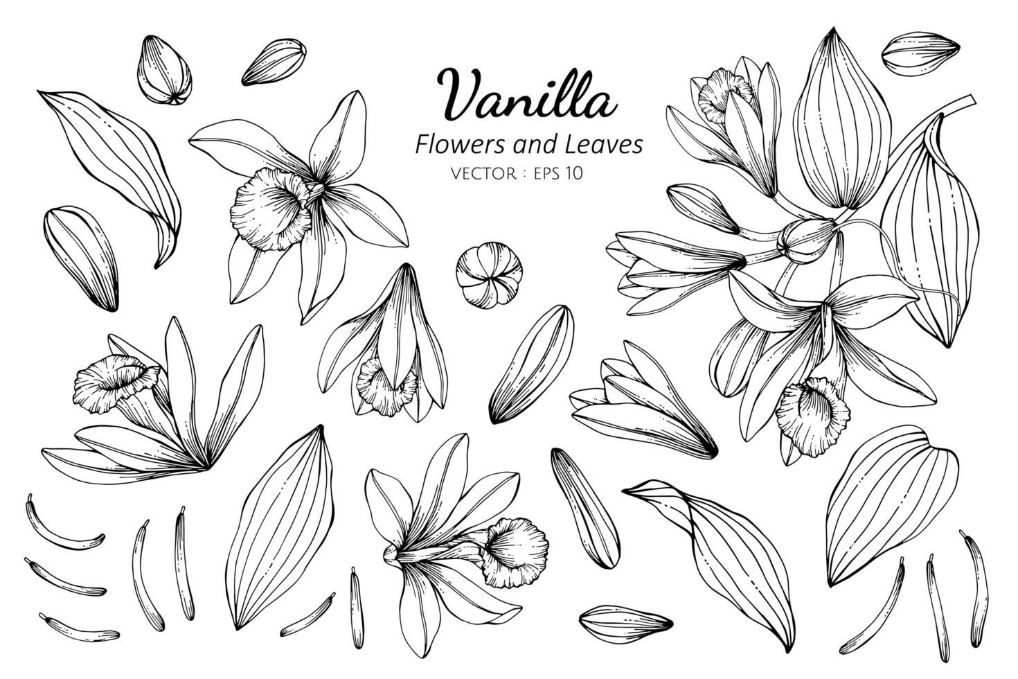 raccolta di fiori e foglie di vaniglia vettore
