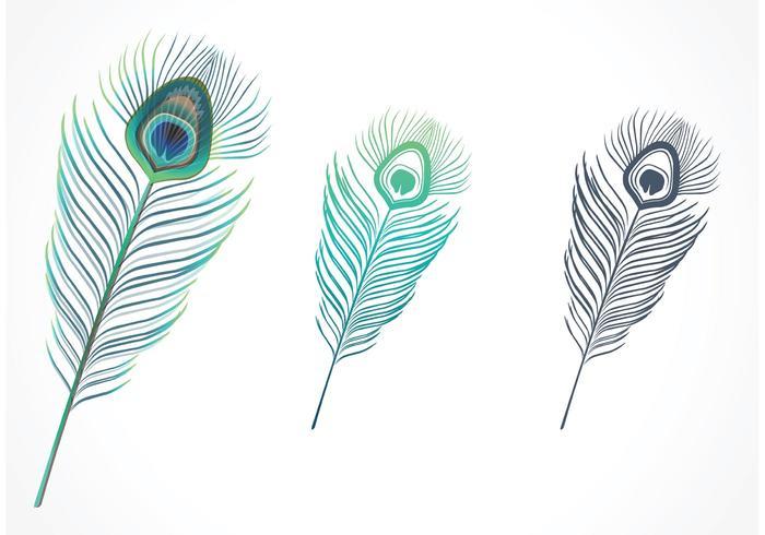 Vettore isolato della piuma del pavone