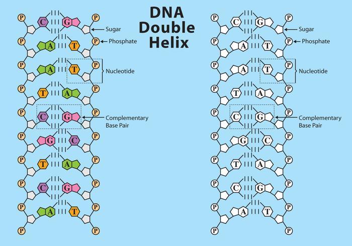 vettore di struttura del DNA