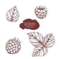 insieme disegnato a mano di lamponi e foglie