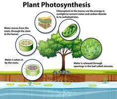 diagramma che mostra la fotosintesi delle piante vettore