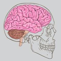 cervello rosa all'interno del cranio umano