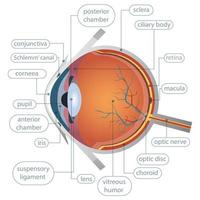 anatomia dell'occhio umano vettore