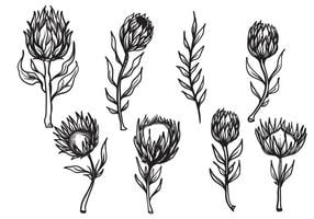 Vettore di fiore di Protea disegnato a mano libera