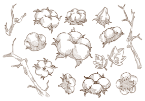 Vettore della pianta del fiore del cotone
