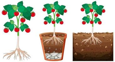 set di piante di pomodoro vettore