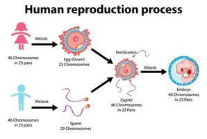processo di riproduzione di infografica umana vettore