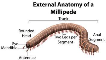 anatomia esterna di un millepiedi su sfondo bianco