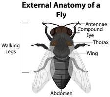 anatomia esterna di una mosca su sfondo bianco
