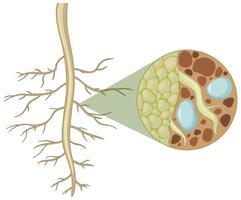 Close up delle radici delle piante con l'interno della struttura di radici isolato su sfondo bianco vettore
