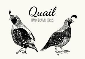 Illustrazione disegnata a mano di vettore dell'uccello di quaglia