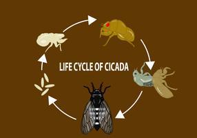 Ciclo di vita di Cicala vettore