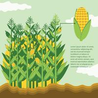 Stocchi di mais nel campo di grano
