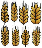 Insieme dell'illustrazione delle orecchie del grano di vettore