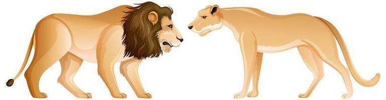 leone e leonessa in posizione eretta su sfondo bianco vettore