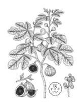 illustrazioni botaniche disegnate a mano di frutta di fico. vettore