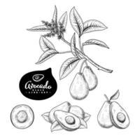 elementi disegnati a mano di frutta avocado. vettore