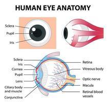 diagramma di anatomia dell'occhio umano con etichetta vettore