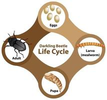 diagramma che mostra il ciclo di vita del coleottero darkling vettore