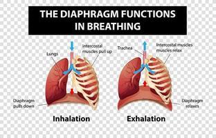 diagramma che mostra le funzioni del diaframma nella respirazione su sfondo trasparente