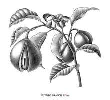 noce moscata ramo botanico disegno stile vintage arte in bianco e nero isolato su sfondo bianco vettore