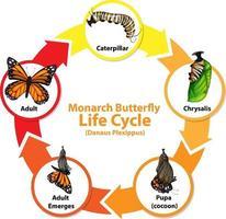 diagramma che mostra il ciclo di vita della farfalla vettore