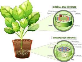 diagramma che mostra la struttura del fusto e della radice