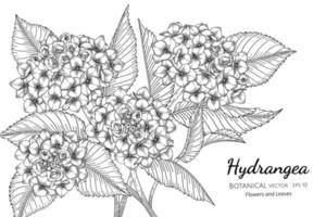 fiori e foglie di ortensie illustrazione botanica disegnata a mano con disegni al tratto su sfondo bianco. vettore