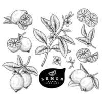 insieme decorativo botanico disegnato a mano degli agrumi del limone di schizzo di vettore