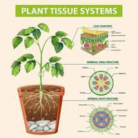 diagramma che mostra i sistemi dei tessuti vegetali