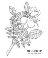 uno schizzo dei rami della rosa selvatica su uno sfondo bianco vettore