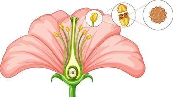 diagramma che mostra le parti del fiore vettore