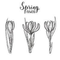 fiori di primavera. insieme disegnato a mano dell'annata di croco monocromatico. schizzo. illustrazione incisione. vettore