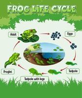 diagramma che mostra il ciclo di vita della rana vettore