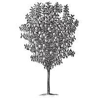 illustrazioni d & # 39; epoca dell'albero di prugna vettore
