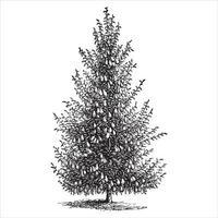 illustrazioni d & # 39; epoca di albero di pera vettore