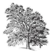 illustrazioni d & # 39; epoca di albero di pera comune vettore