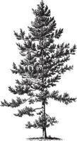 illustrazioni vintage di albero di pino nero vettore