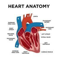 diagramma di anatomia del cuore. struttura del cuore umano. con etichetta metà cuore in stile doodle. parte dell'educazione del cuore nemico. illustrazione vettoriale disegnato a mano.