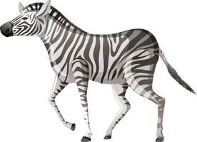 zebra adulta in posizione di camminata su sfondo bianco vettore