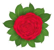 rosa rossa e foglia su sfondo bianco vettore