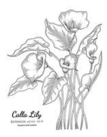 illustrazione botanica disegnata a mano del fiore e della foglia del giglio di calla con la linea arte su sfondi bianchi. vettore